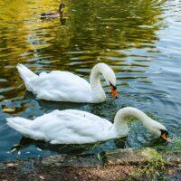 Лебеди Елена и Константин появились на пруду ландшафтного парка «Митино»