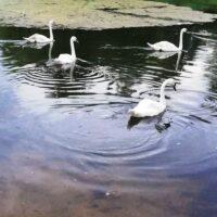 Еще четыре лебедя появились в ландшафтном парке «Митино»